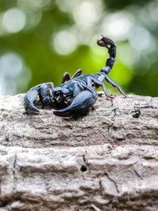 What a creature! Believe it or not the emperor scorpion can make a great pet - here's how...