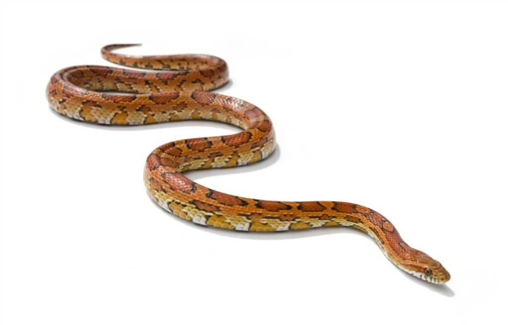 A wild-type corn snake - a perfect small pet snake ideal for beginners.