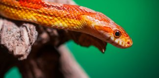 The best small pet snakes for beginners. This is s corn snake - a perfect beginner snake.