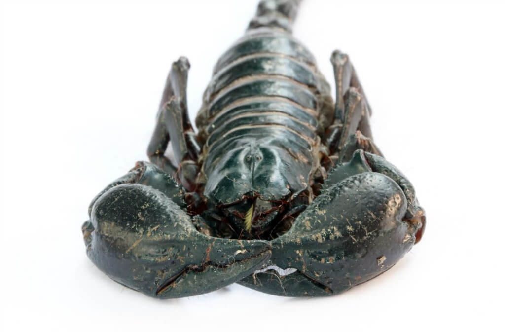 The stunning emperor scorpion, in many ways the ideal pet. Don't believe me? Come on over and learn all about emperor scorpion care...