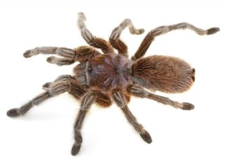 The Chilean Rose Hair tarantula is one of the best pet tarantulas for beginners. This complete caresheet teaches you everything you need to know to keep this amazing exotic pet in captivity.