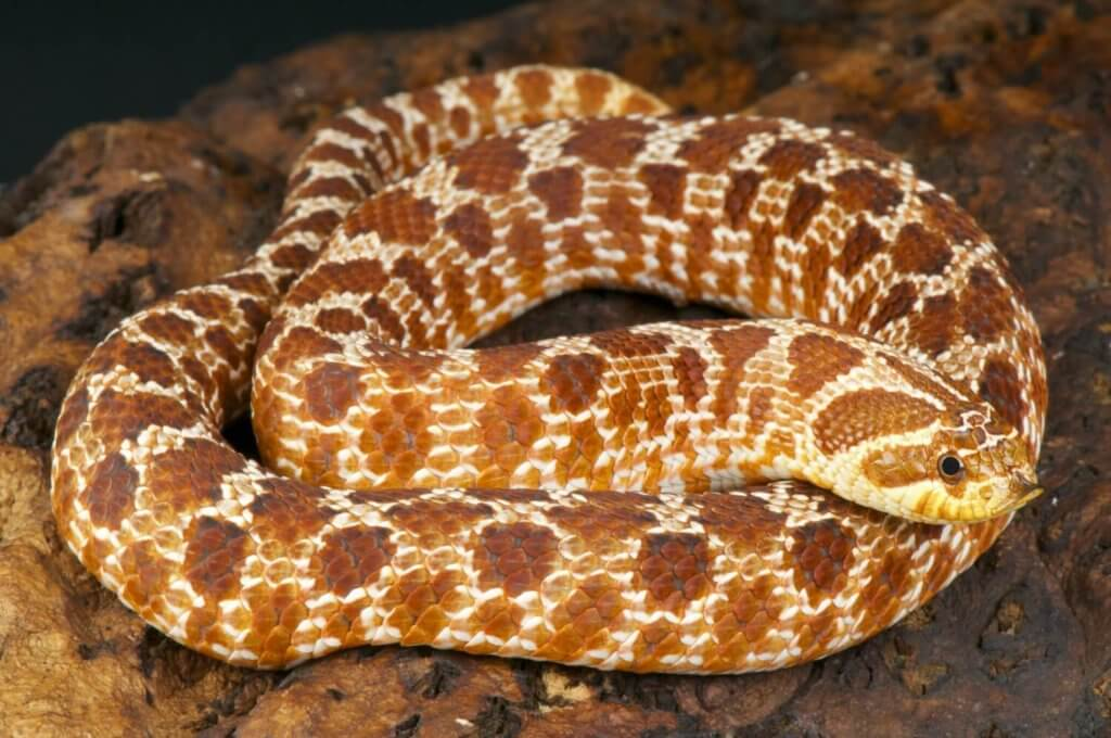 The hognose snake - a perfect starter pet reptile for beginners.