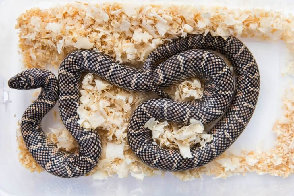 A kingsnake makes an ideal small pet snake for beginners.