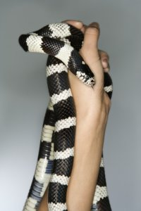 California Kingsnake held in Caucasian mid-adult male's hands.