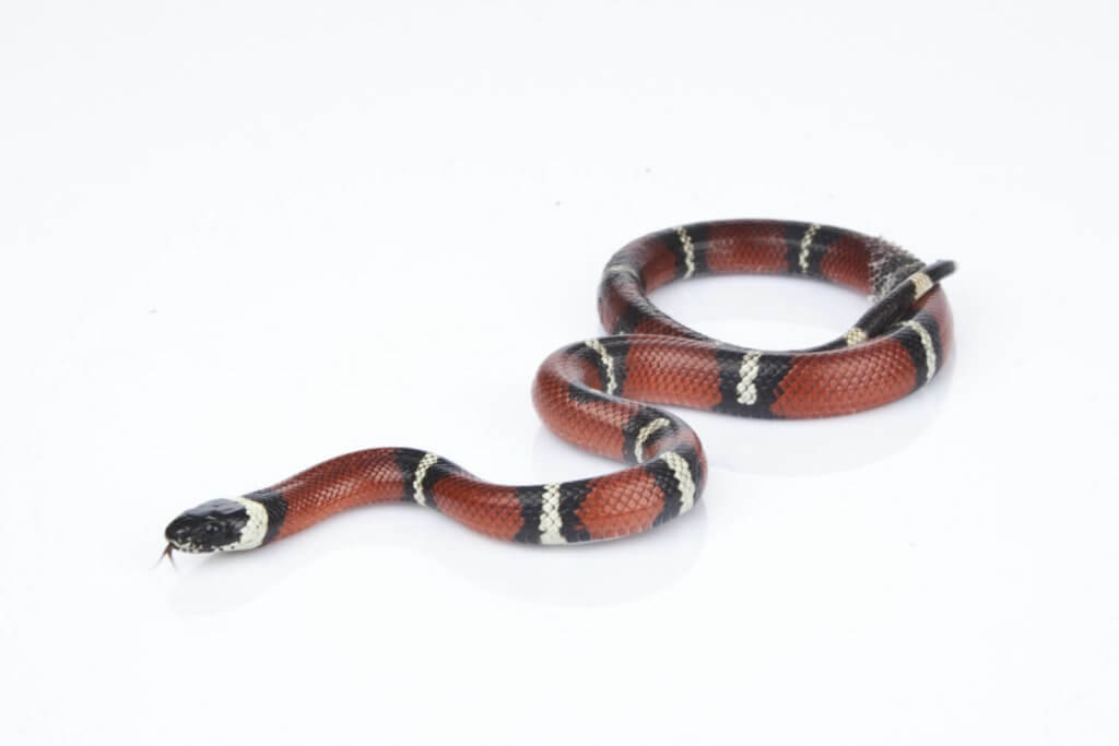 A milk snake makes an ideal first pet. Read on to discover how to care for them in captivity.