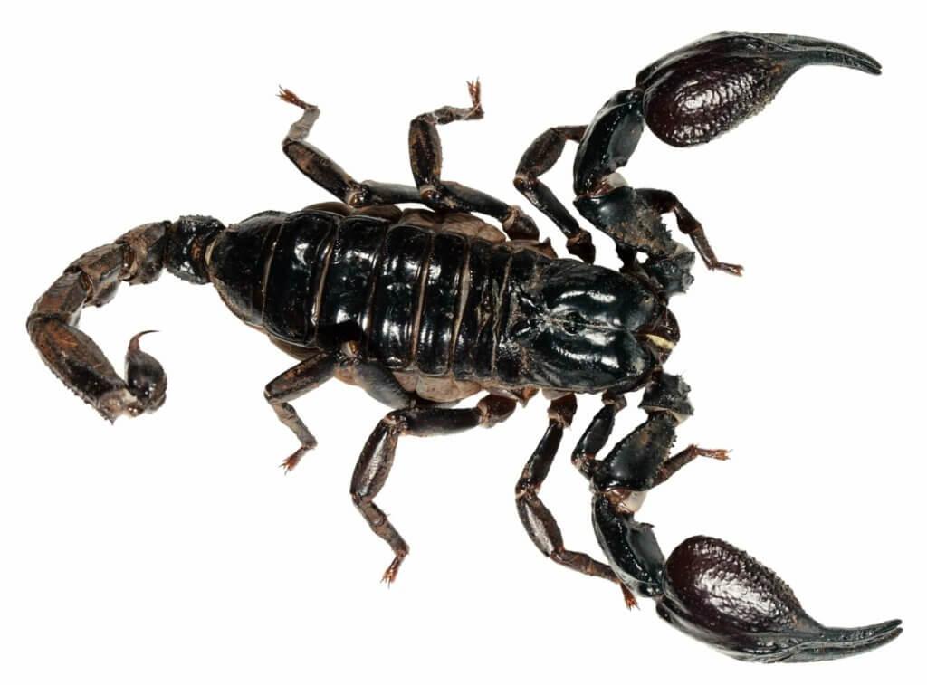 Pandinus imperator the stunning emperor scorpion. A popular pet!