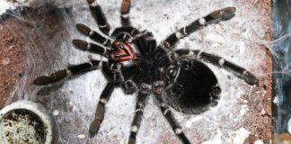 Is your tarantula coming up to moult? Essential advice to keep your spider safe during this difficult period.