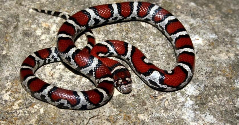 Stunning milk snake.