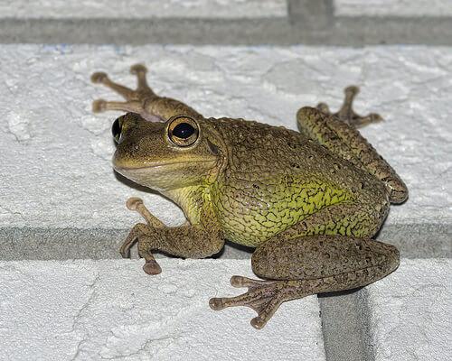 cuban tree frog photo