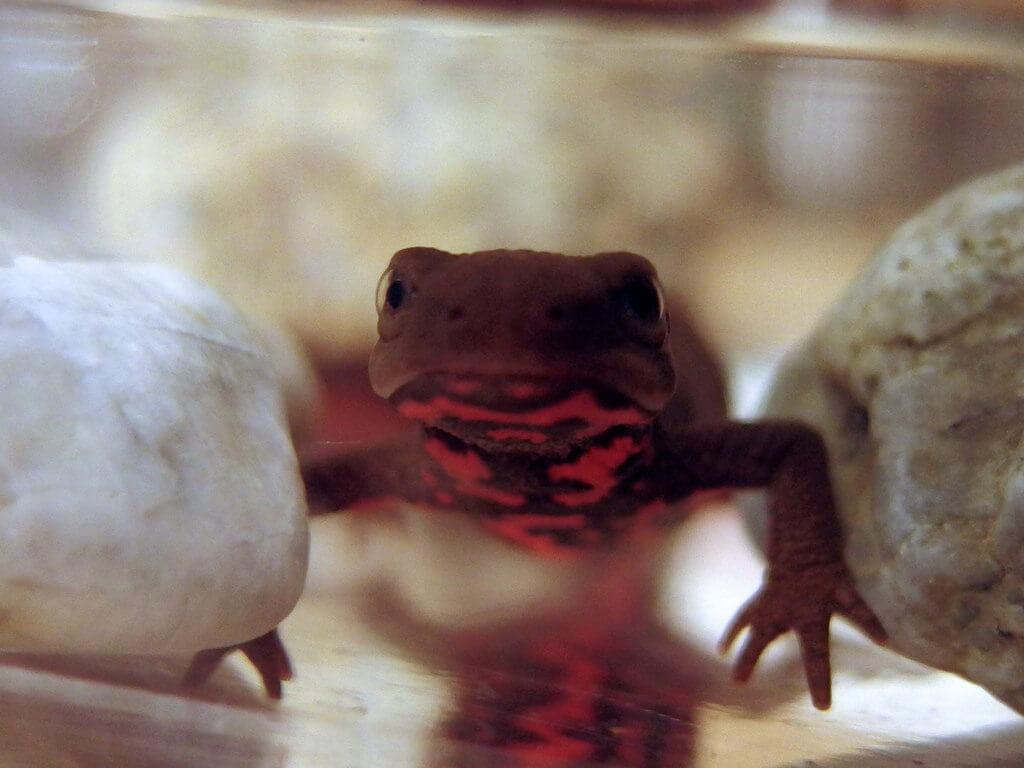 fire bellied newt photo