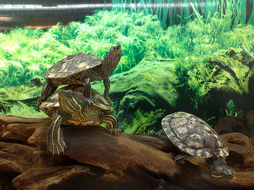 terrapin photo