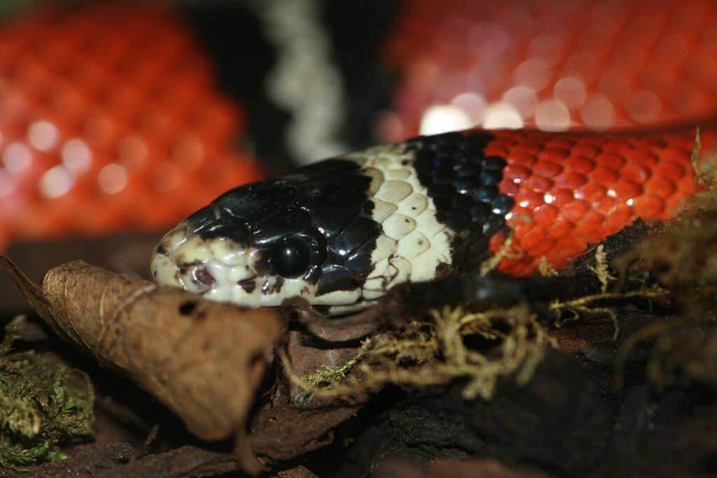 milk snakes photo