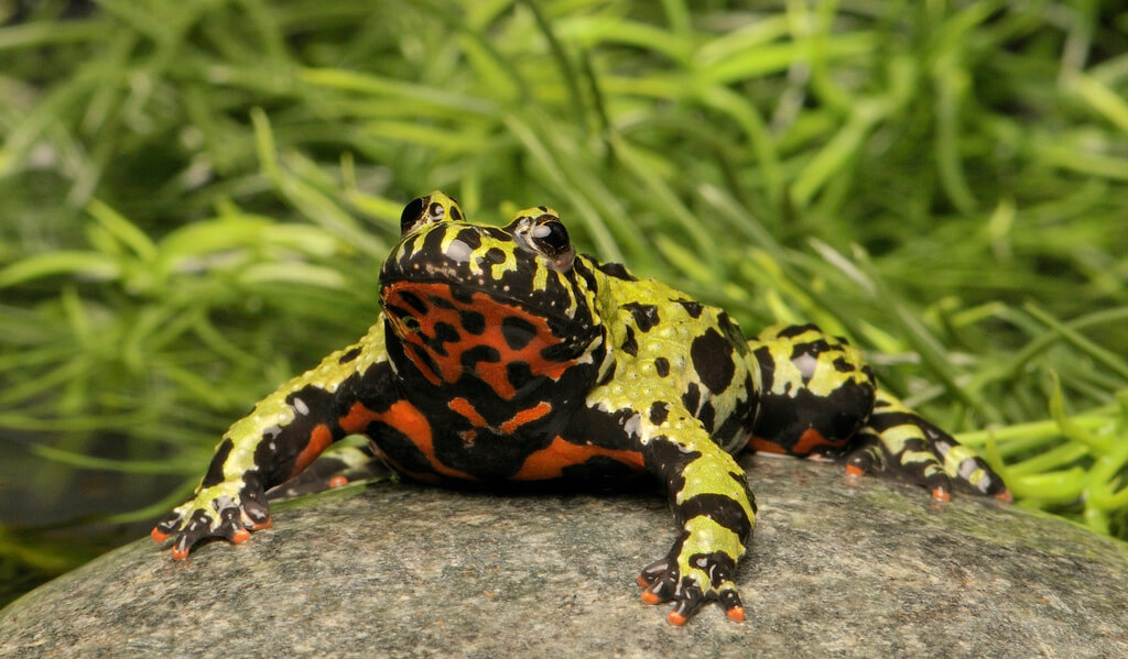 fire belly toad photo