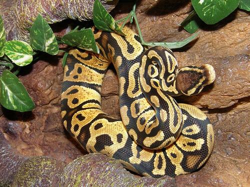 ball python photo
