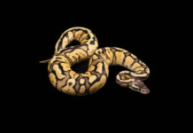 A stunning female ball python.