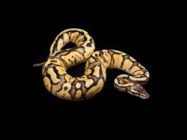 A stunning female ball python.