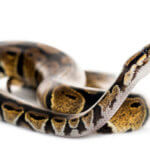 Ball Python Not Eating? Consider These Options…
