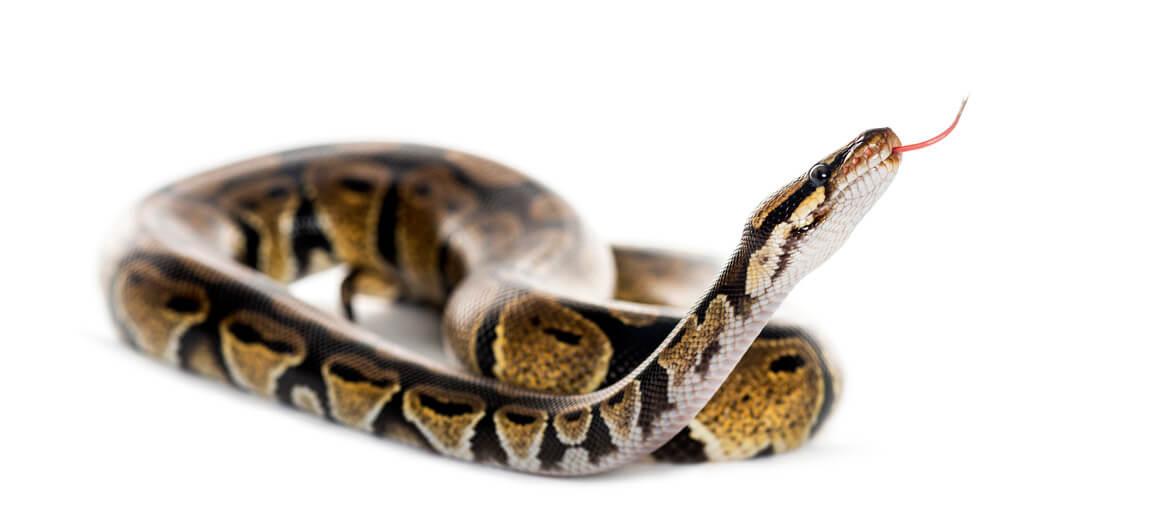 Why wont my ball python eat