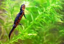 Beautiful Japanese fire bellied newt.