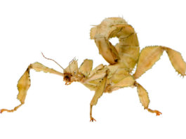 What do stick insect eat?