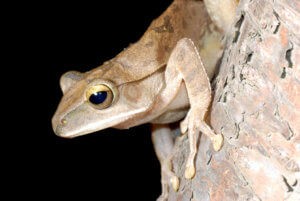 Cuban tree frog.