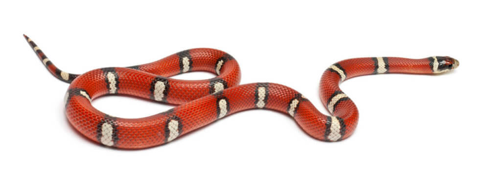 Keeping Milk Snakes Care Sheet Keeping Exotic Pets