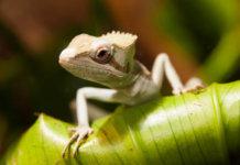 Basilisk Lizard (Basiliscus basiliscus) sitting on the green leaf