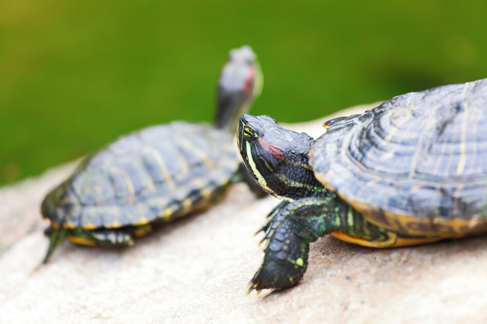 Keeping terrapins as pets in captivity.
