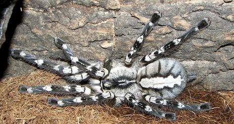 poecilotheria regalis indian ornamental tarantula care sheet