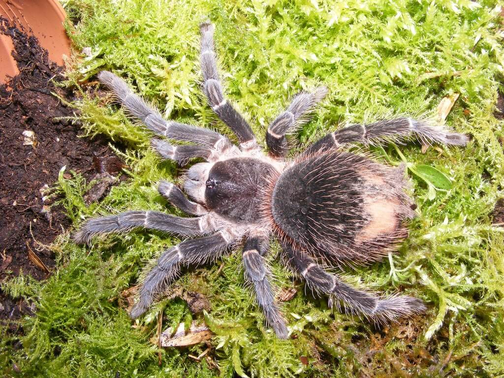 lasiodora parahybana photo