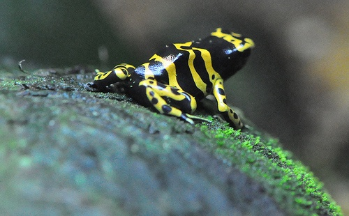 dart frog photo