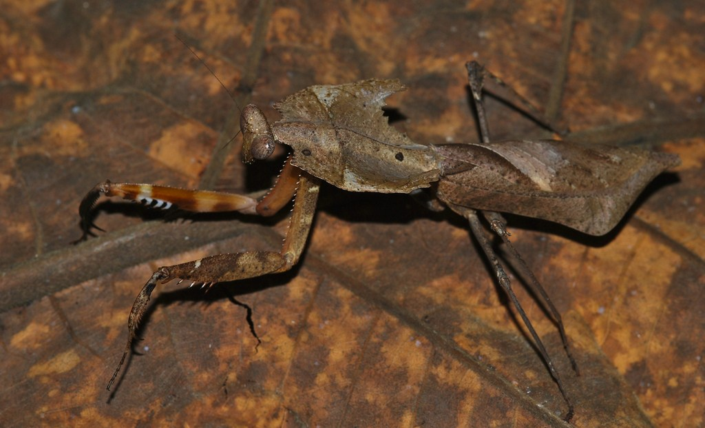 deroplatys photo
