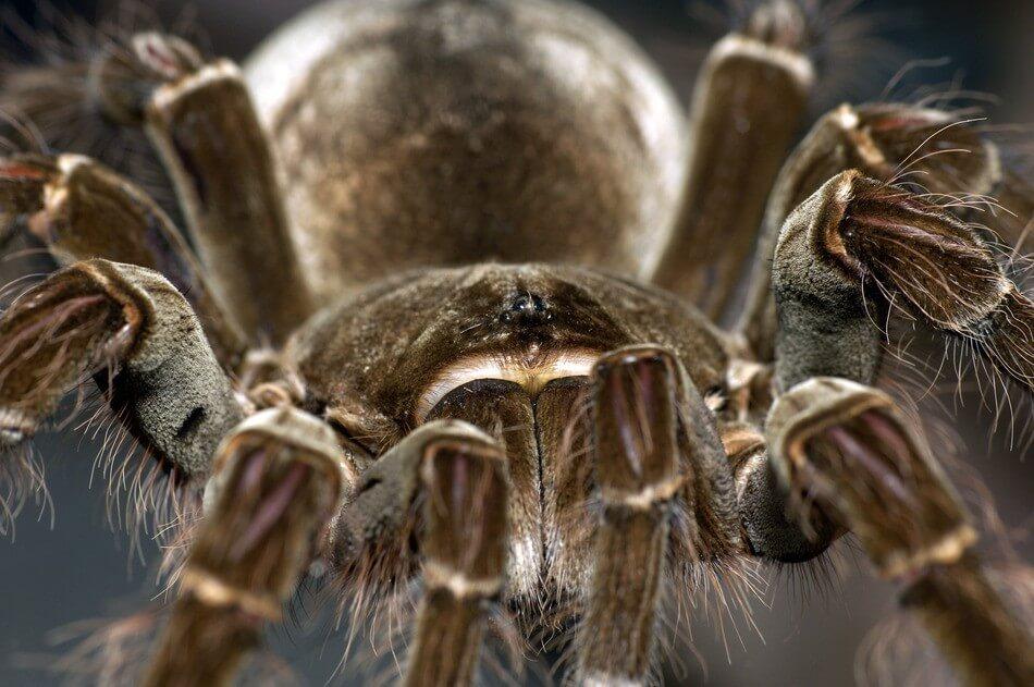 http://www.keepingexoticpets.com/wp-content/uploads/2016/10/photodune-11372781-goliath-birdeating-tarantula-s.jpg Goliath