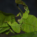How to Breed Leaf Insects