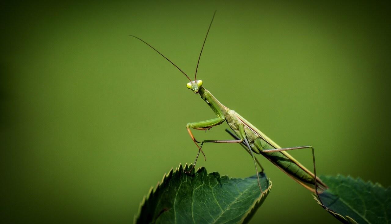 mantis photo