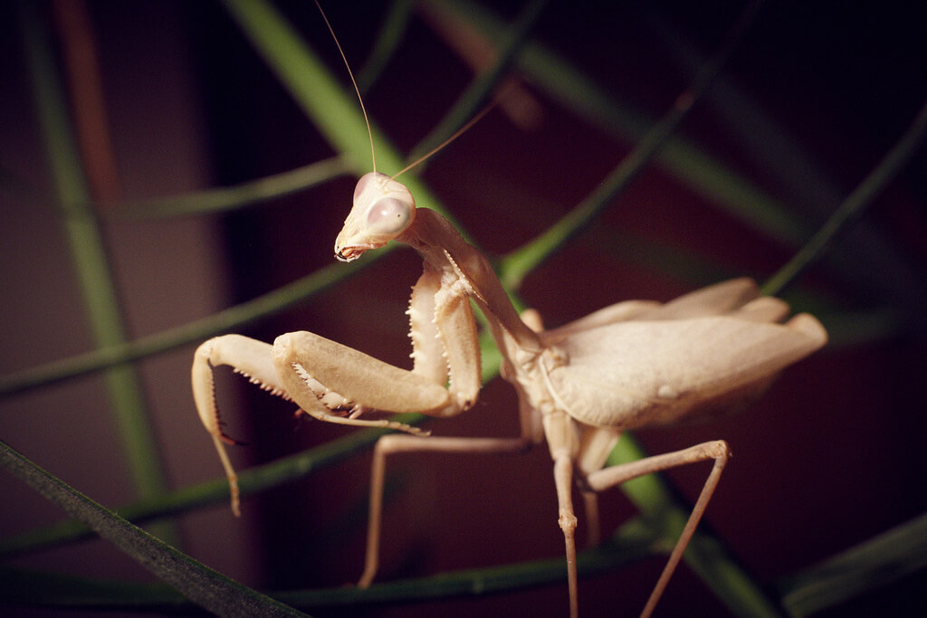 sphodromantis photo