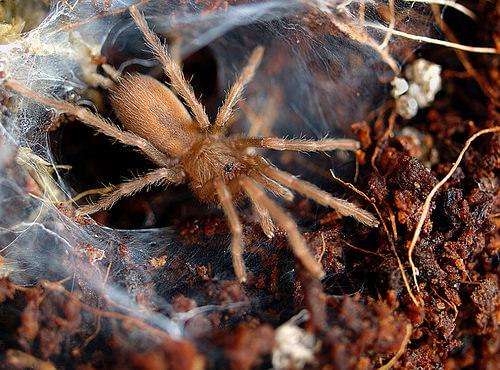 tarantula spiderling photo