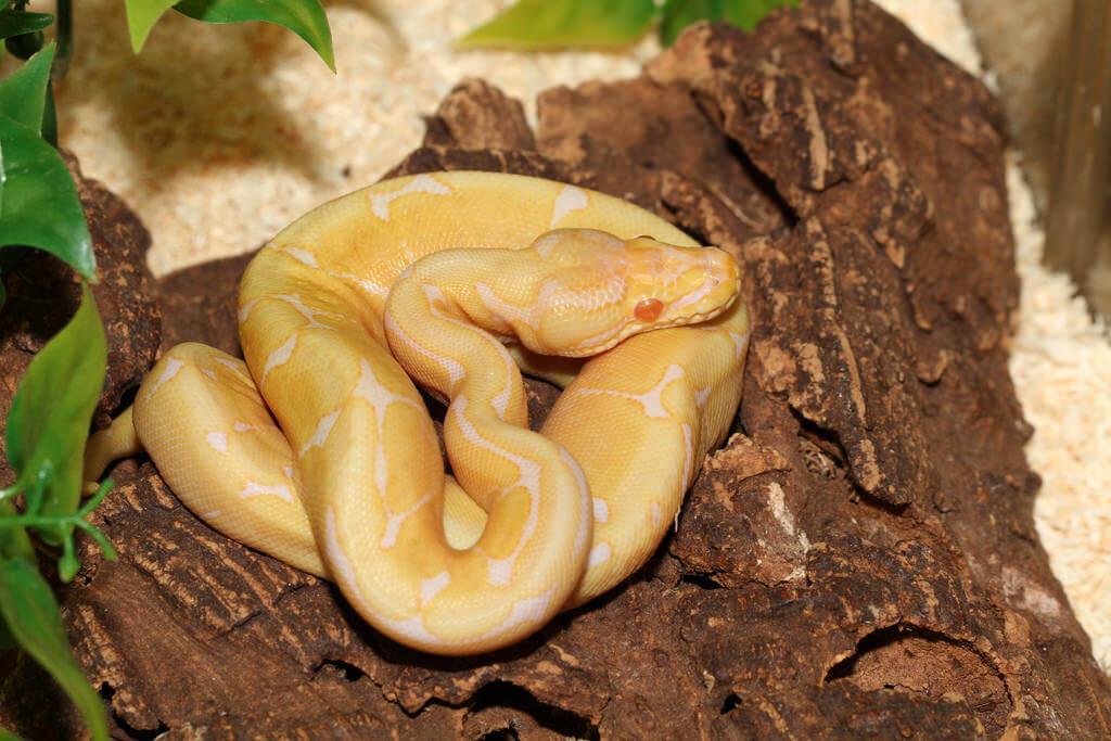 royal python photo