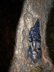 poecilotheria metallica photo