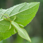 Keeping Leaf Insects as Pets
