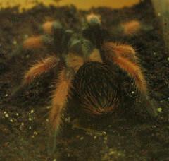brachypelma emilia photo
