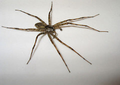 wolfspider photo
