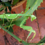 African Praying Mantis (Sphodromantis) Care Sheet