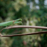 European Mantis (Mantis religiosa) Care Sheet