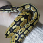 How to Save Money on Frozen Snake Food