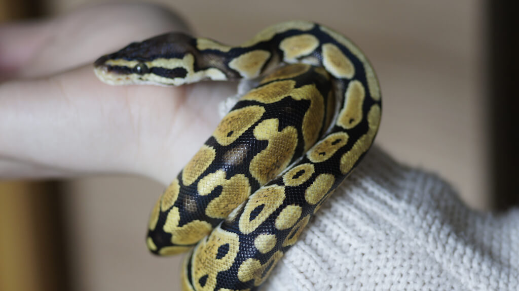 royal python photo