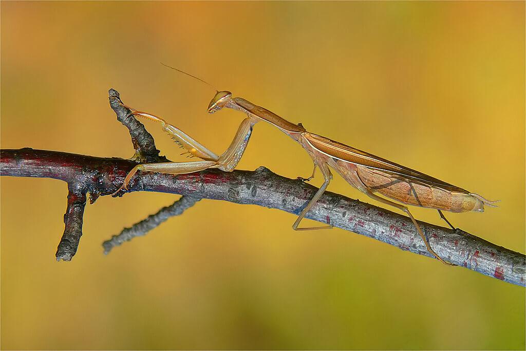 Mantis religiosa photo