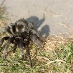 Brazilian Black Tarantula (Grammostola pulchra) Care Sheet