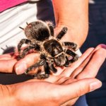 Honduran Curly Hair Tarantula (Brachypelma albopilosum) Care Sheet