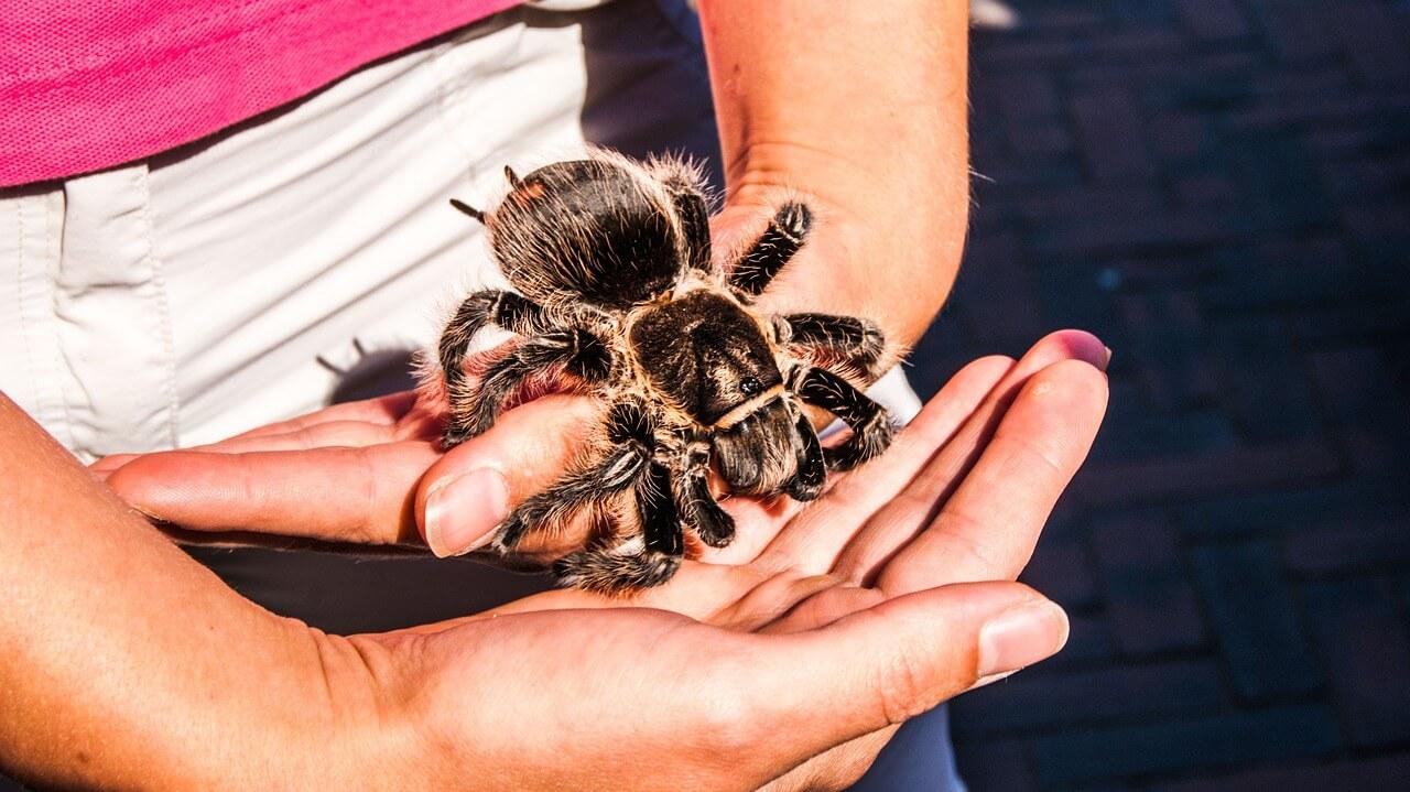 tarantula photo
